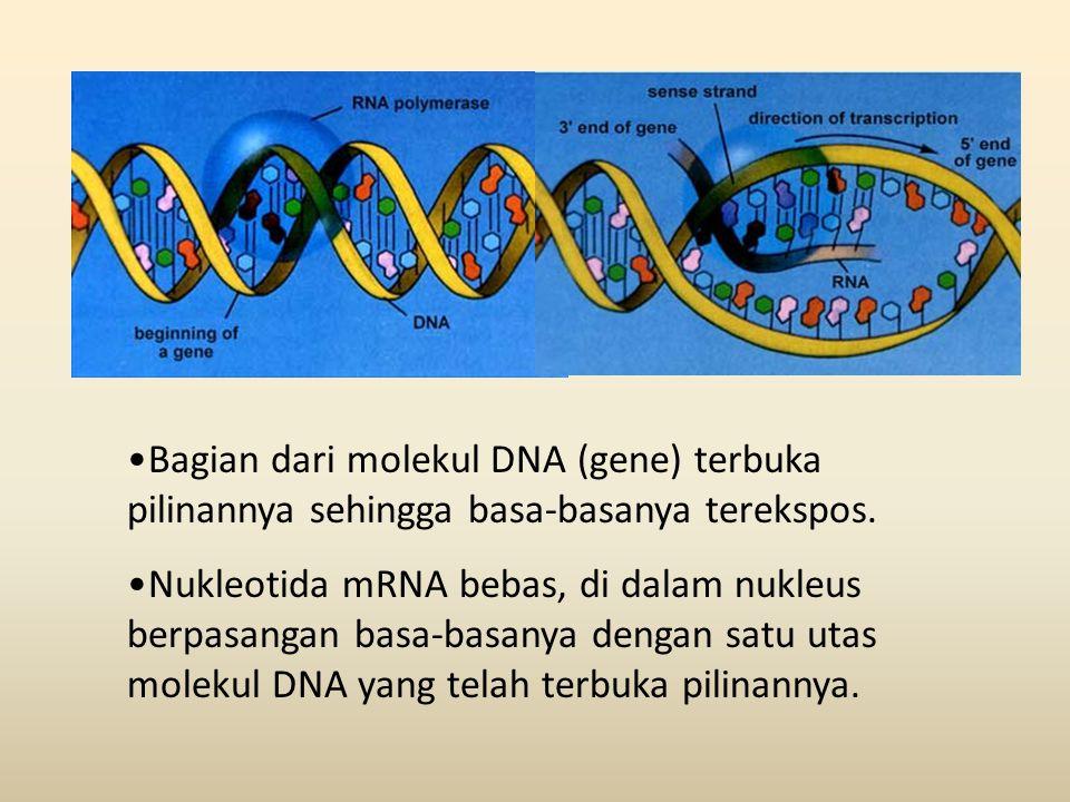 •Bagian dari molekul DNA (gene) terbuka pilinannya sehingga basa-basanya terekspos. •Nukleotida mRNA bebas, di dalam nukleus berpasangan basa-basanya