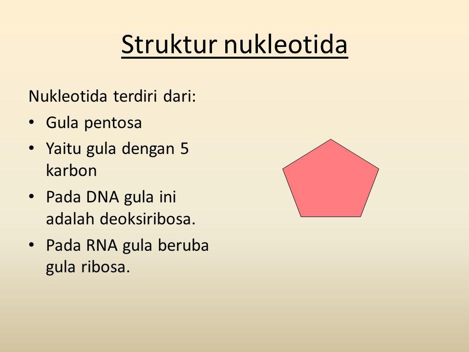 Struktur nukleotida Nukleotida terdiri dari: • Gula pentosa • Yaitu gula dengan 5 karbon • Pada DNA gula ini adalah deoksiribosa. • Pada RNA gula beru