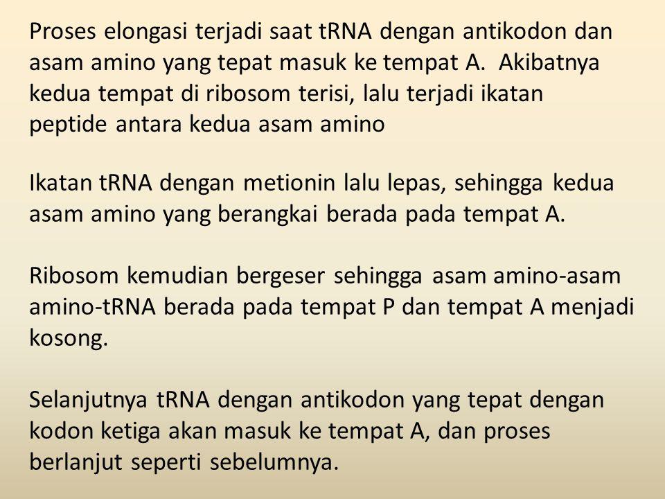 Proses elongasi terjadi saat tRNA dengan antikodon dan asam amino yang tepat masuk ke tempat A. Akibatnya kedua tempat di ribosom terisi, lalu terjadi