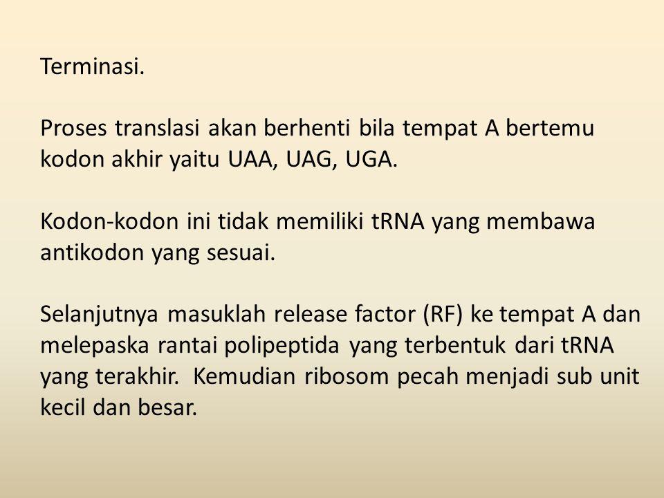 Terminasi. Proses translasi akan berhenti bila tempat A bertemu kodon akhir yaitu UAA, UAG, UGA. Kodon-kodon ini tidak memiliki tRNA yang membawa anti