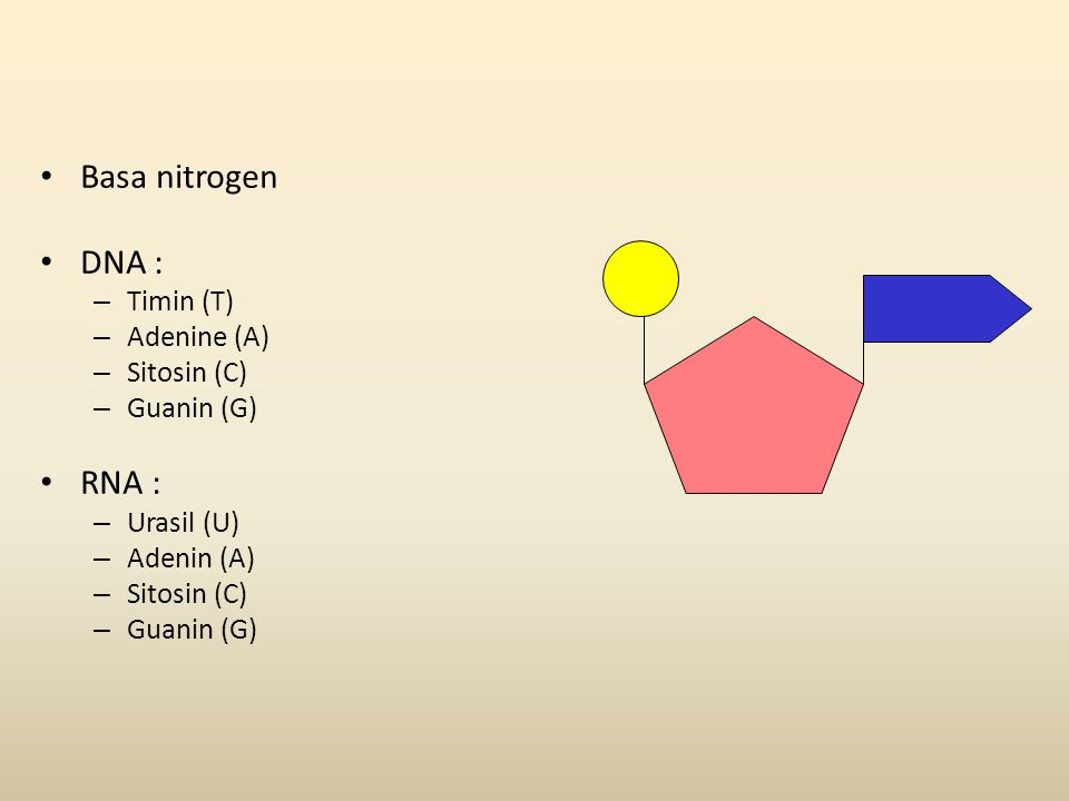 • Basa nitrogen • DNA : – Timin (T) – Adenine (A) – Sitosin (C) – Guanin (G) • RNA : – Urasil (U) – Adenin (A) – Sitosin (C) – Guanin (G)