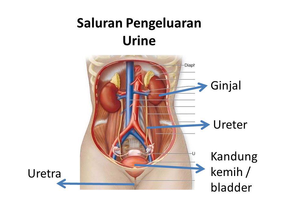 Ginjal Ureter Kandung kemih / bladder Uretra Saluran Pengeluaran Urine