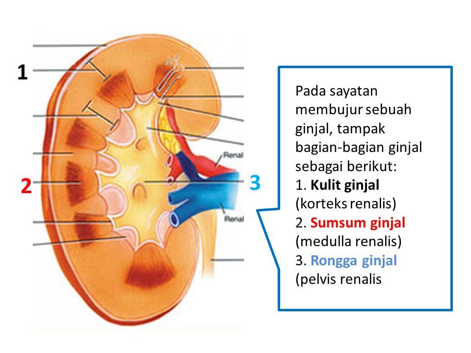 Pada sayatan membujur sebuah ginjal, tampak bagian-bagian ginjal sebagai berikut: 1. Kulit ginjal (korteks renalis) 2. Sumsum ginjal (medulla renalis)
