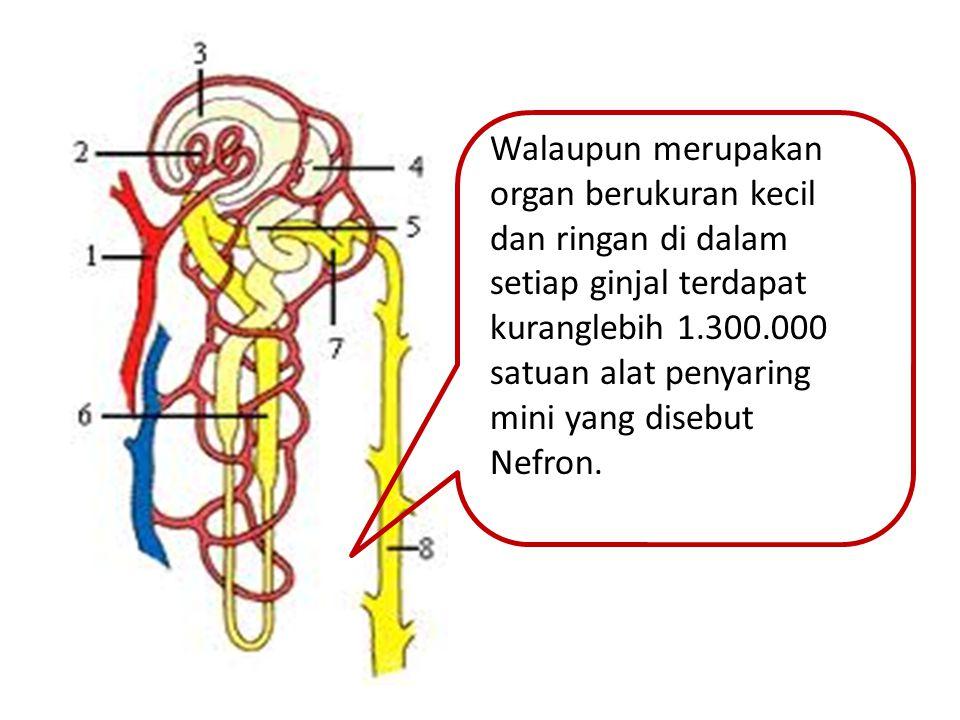 Walaupun merupakan organ berukuran kecil dan ringan di dalam setiap ginjal terdapat kuranglebih 1.300.000 satuan alat penyaring mini yang disebut Nefr