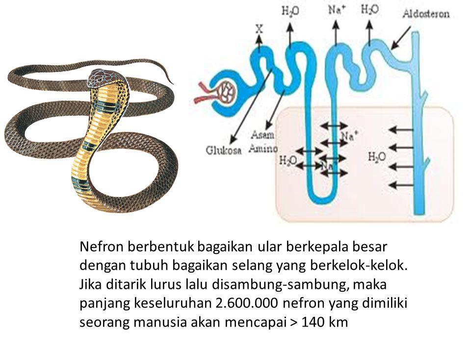 Nefron berbentuk bagaikan ular berkepala besar dengan tubuh bagaikan selang yang berkelok-kelok. Jika ditarik lurus lalu disambung-sambung, maka panja