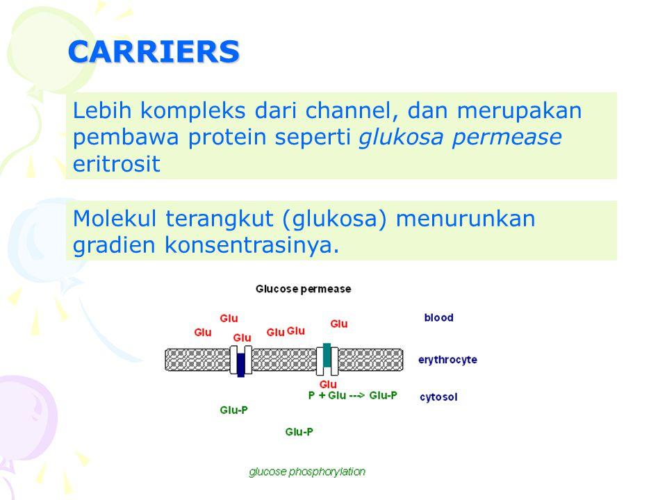 CARRIERS Lebih kompleks dari channel, dan merupakan pembawa protein seperti glukosa permease eritrosit Molekul terangkut (glukosa) menurunkan gradien