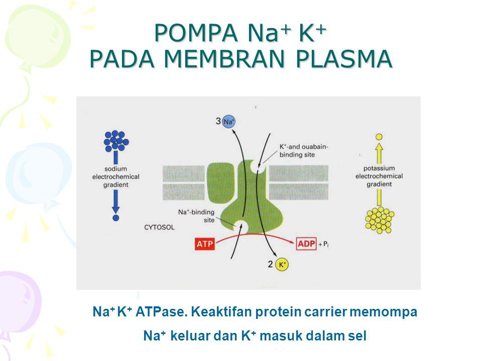 POMPA Na + K + PADA MEMBRAN PLASMA Na + K + ATPase. Keaktifan protein carrier memompa Na + keluar dan K + masuk dalam sel