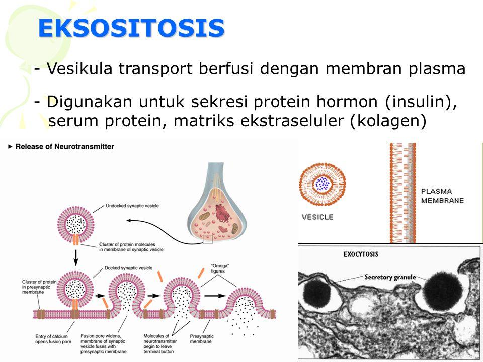 EKSOSITOSIS - Vesikula transport berfusi dengan membran plasma - Digunakan untuk sekresi protein hormon (insulin), serum protein, matriks ekstraselule