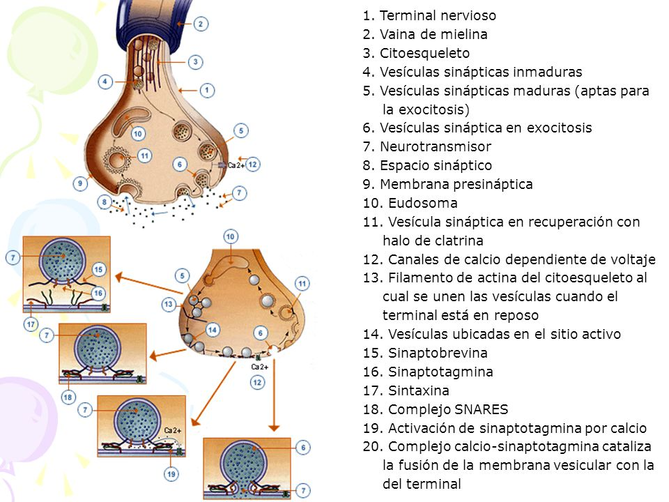 1. Terminal nervioso 2. Vaina de mielina 3. Citoesqueleto 4. Vesículas sinápticas inmaduras 5. Vesículas sinápticas maduras (aptas para la exocitosis)