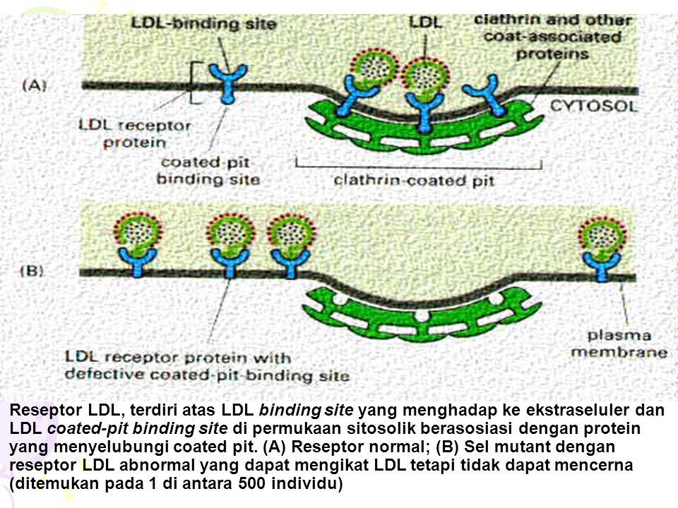 Reseptor LDL, terdiri atas LDL binding site yang menghadap ke ekstraseluler dan LDL coated-pit binding site di permukaan sitosolik berasosiasi dengan