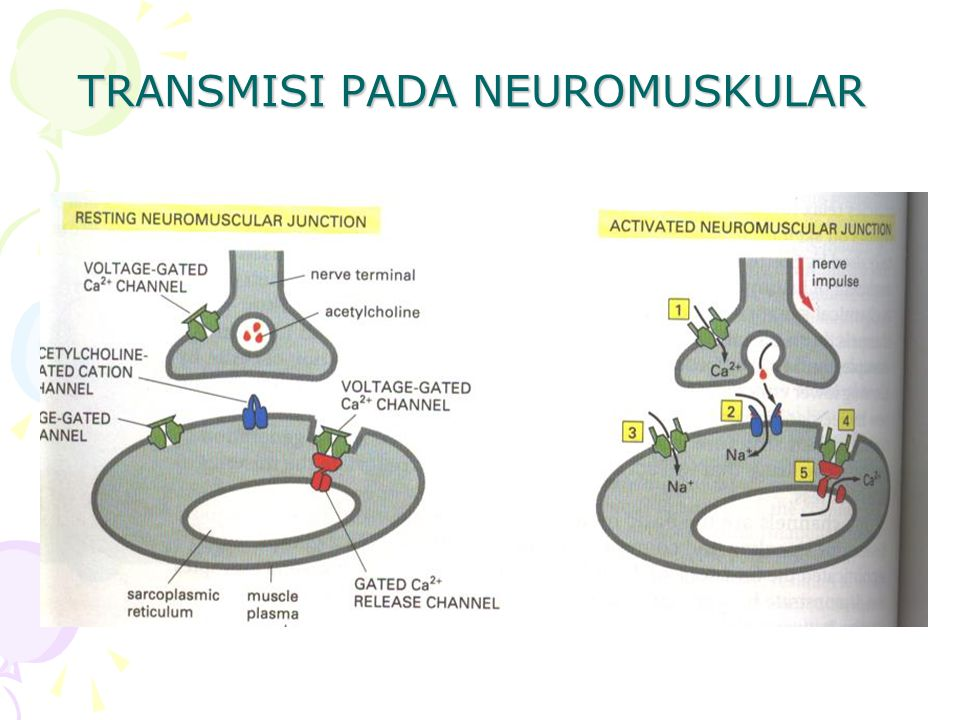 TRANSMISI PADA NEUROMUSKULAR