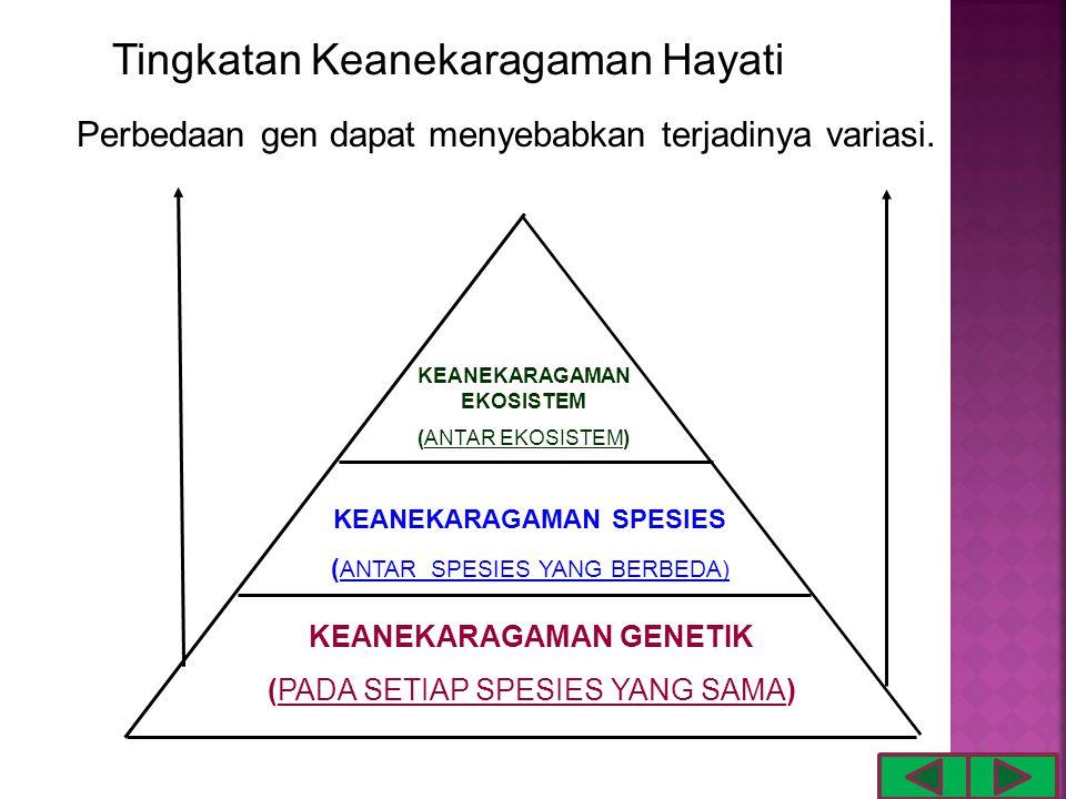 Tingkatan Keanekaragaman Hayati KEANEKARAGAMAN GENETIK (PADA SETIAP SPESIES YANG SAMA) KEANEKARAGAMAN SPESIES ( ANTAR SPESIES YANG BERBEDA) KEANEKARAGAMAN EKOSISTEM (ANTAR EKOSISTEM) Perbedaan gen dapat menyebabkan terjadinya variasi.