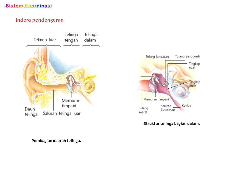 Indera pendengaran Pembagian daerah telinga. Struktur telinga bagian dalam.