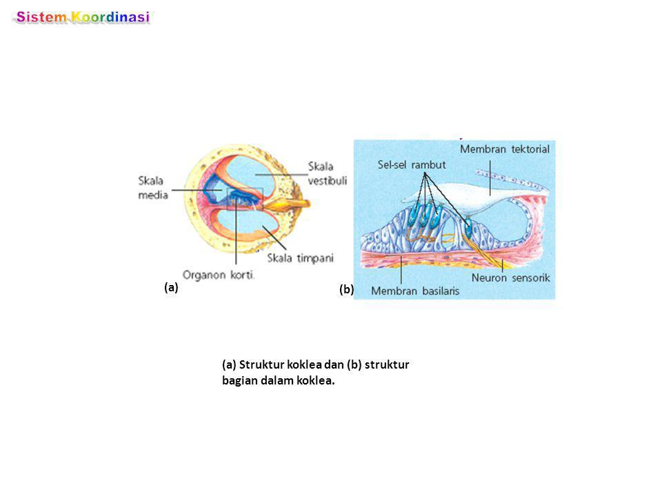 (a) Struktur koklea dan (b) struktur bagian dalam koklea. (a) (b)