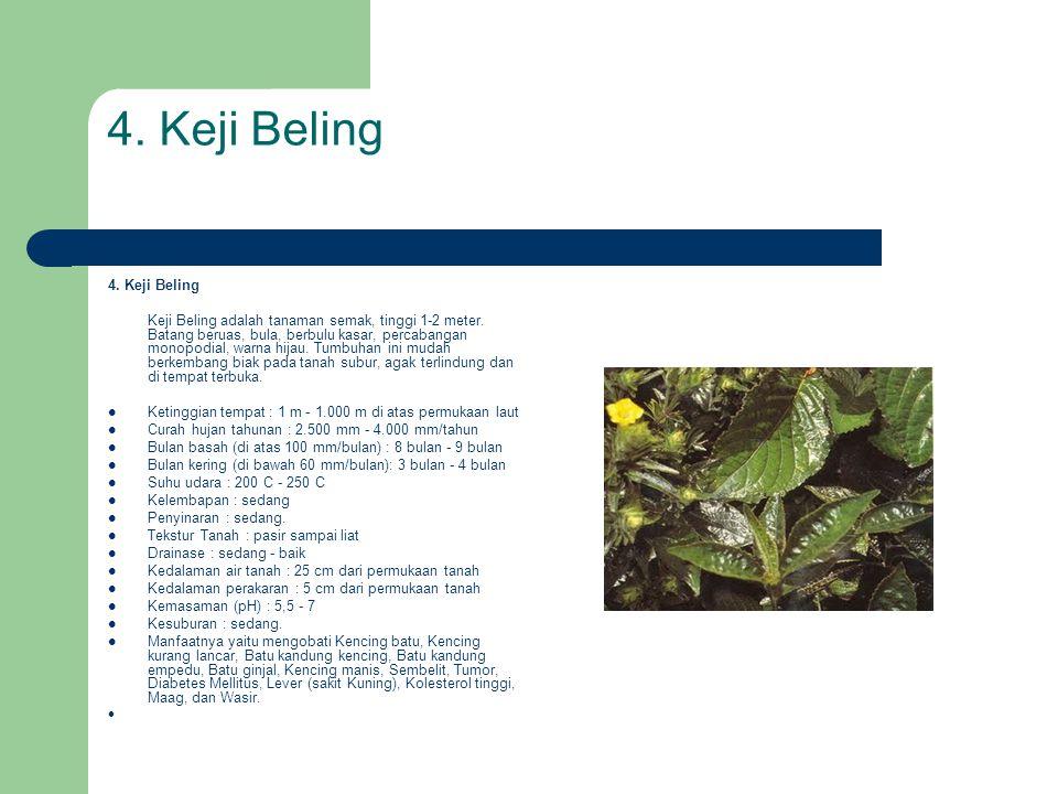 4. Keji Beling Keji Beling adalah tanaman semak, tinggi 1-2 meter. Batang beruas, bula, berbulu kasar, percabangan monopodial, warna hijau. Tumbuhan i