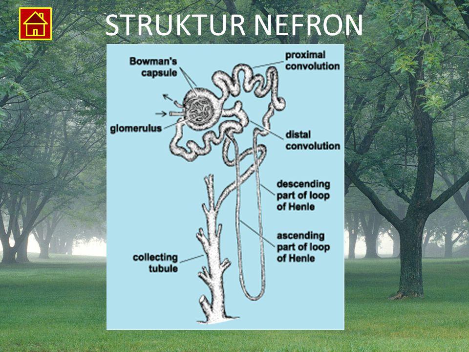 STRUKTUR NEFRON