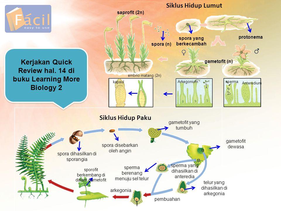 saprofit (2n) spora (n) spora yang berkecambah protonema gametofit (n) Arkegoniumsperma Anteredium kapsul embrio matang (2n) Siklus Hidup Lumut Siklus