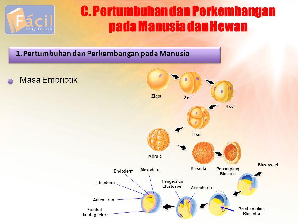 C. Pertumbuhan dan Perkembangan pada Manusia dan Hewan Masa Embriotik 1.Pertumbuhan dan Perkembangan pada Manusia Zigot 2 sel 4 sel 8 sel Morula Blast