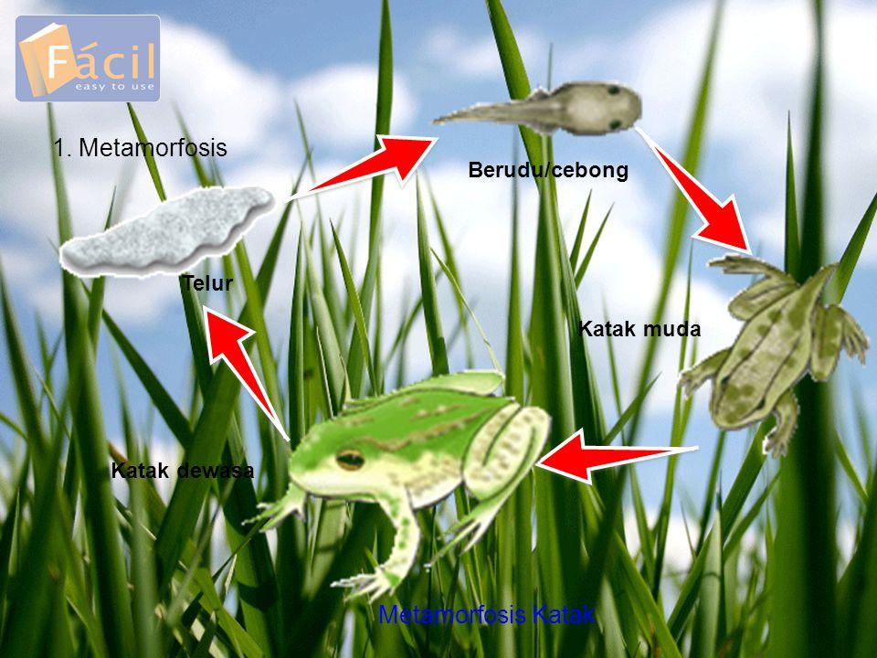 1. Metamorfosis Telur Berudu/cebong Katak muda Katak dewasa Metamorfosis Katak
