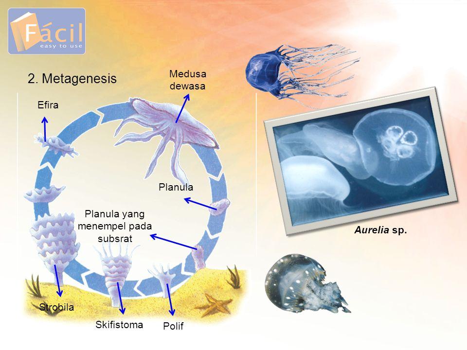 2. Metagenesis Efira Medusa dewasa Planula Planula yang menempel pada subsrat Polif Skifistoma Strobila Aurelia sp.