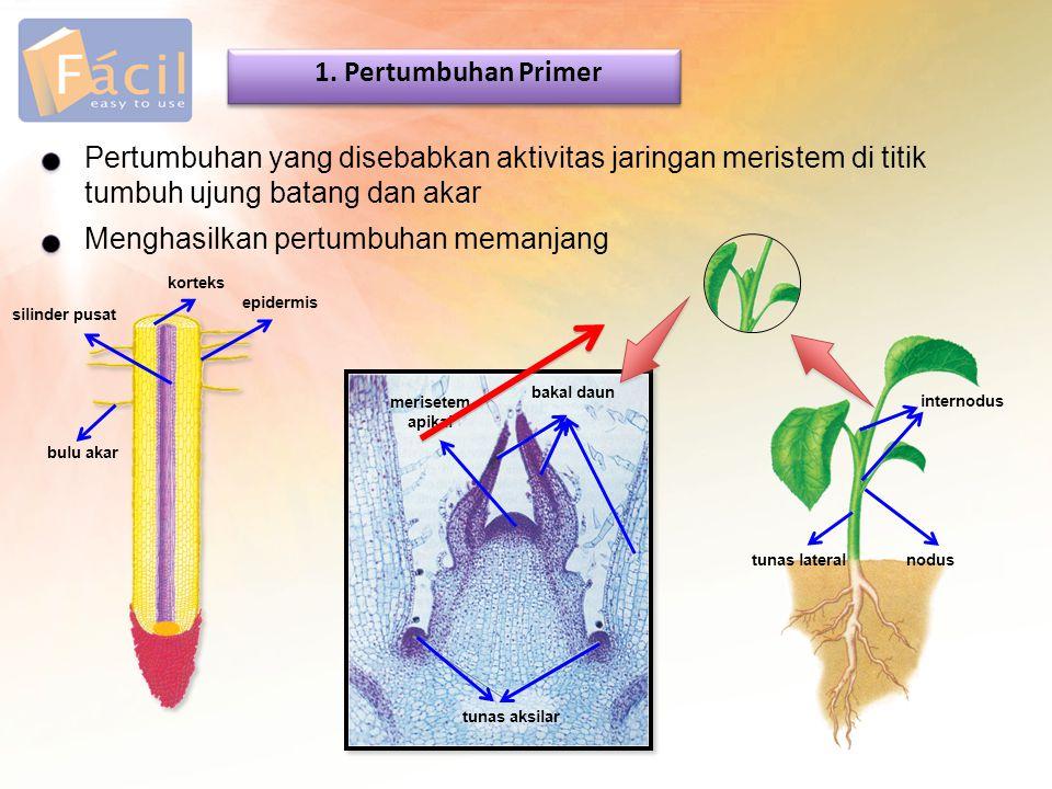 Pertumbuhan yang disebabkan aktivitas jaringan meristem di titik tumbuh ujung batang dan akar 1. Pertumbuhan Primer Menghasilkan pertumbuhan memanjang