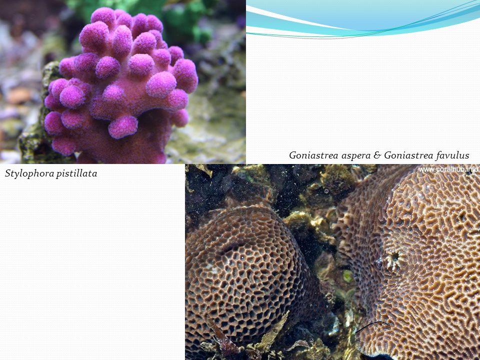Stylophora pistillata Goniastrea aspera & Goniastrea favulus