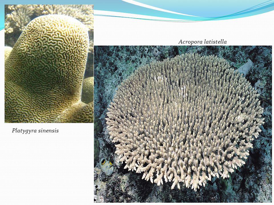 Platygyra sinensis Acropora latistella
