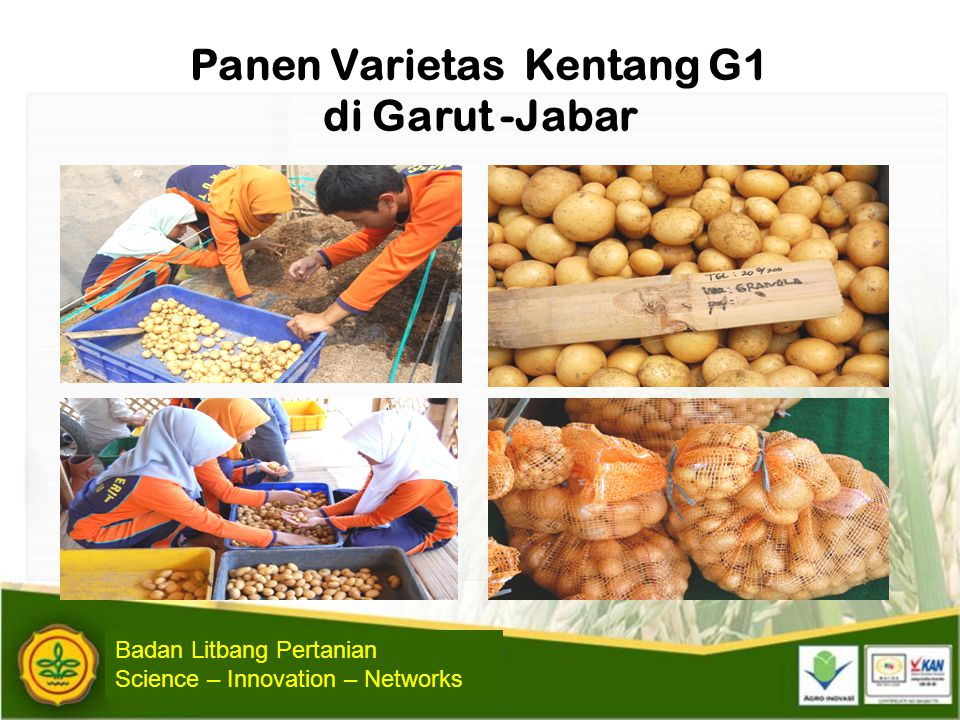 Panen Varietas Kentang G1 di Garut -Jabar Badan Litbang Pertanian Science – Innovation – Networks