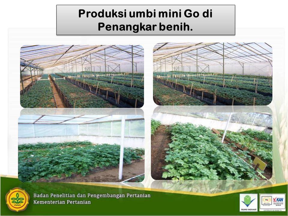 Produksi umbi mini Go di Penangkar benih.