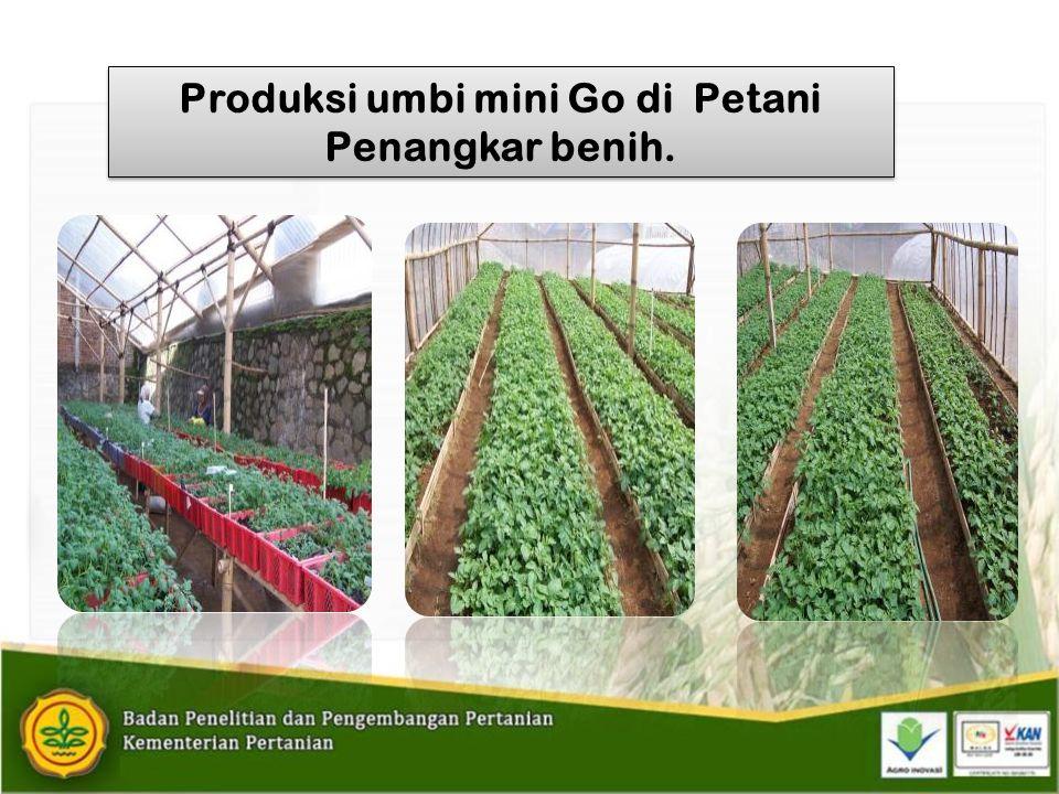 Produksi umbi mini Go di Petani Penangkar benih.