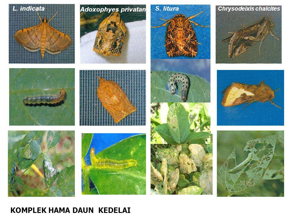 KOMPLEK HAMA DAUN KEDELAI L. indicata Adoxophyes privatana S. litura Chrysodeixis chalcites