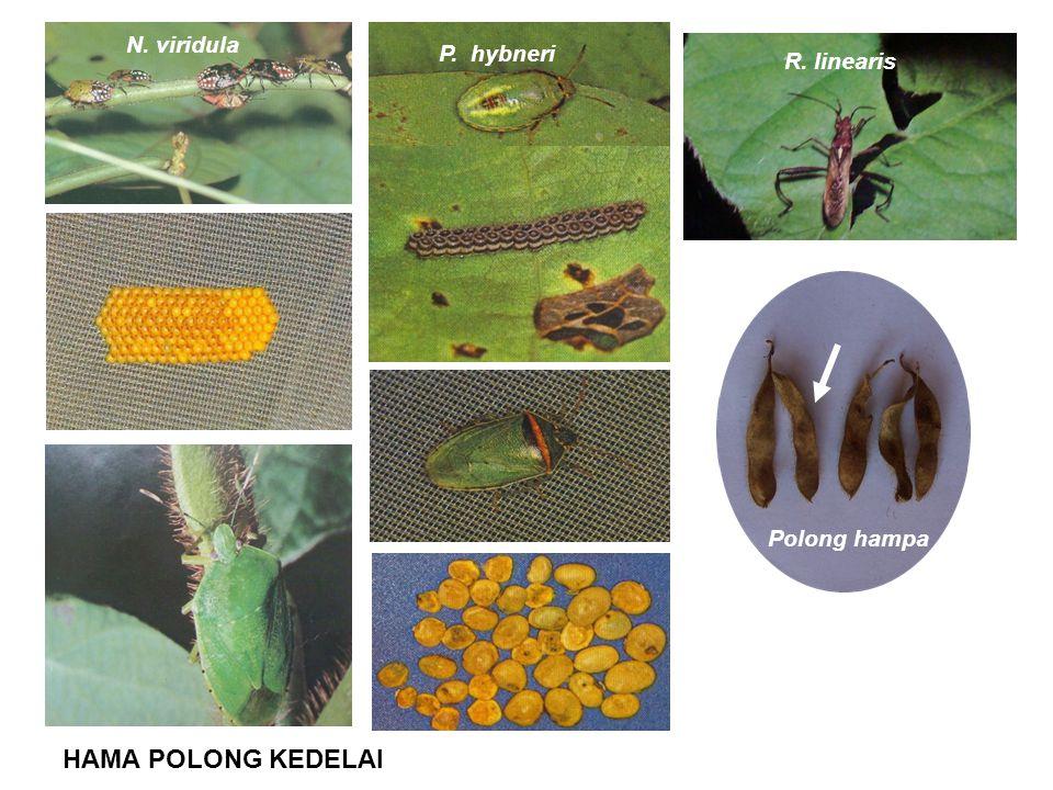 HAMA POLONG KEDELAI N. viridula P. hybneri R. linearis Polong hampa