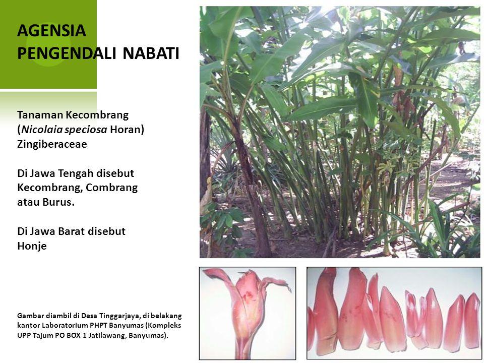AGENSIA PENGENDALI NABATI Tanaman Kecombrang (Nicolaia speciosa Horan) Zingiberaceae Di Jawa Tengah disebut Kecombrang, Combrang atau Burus. Di Jawa B