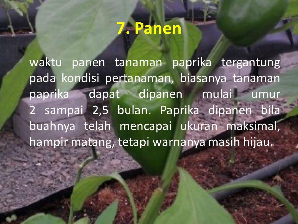 7. Panen waktu panen tanaman paprika tergantung pada kondisi pertanaman, biasanya tanaman paprika dapat dipanen mulai umur 2 sampai 2,5 bulan. Paprika