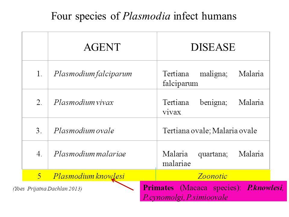 AGENT DISEASE 1. 1. Plasmodium falciparum Tertiana maligna; Malaria falciparum 2. 2. Plasmodium vivax Tertiana benigna; Malaria vivax 3. Plasmodium ov