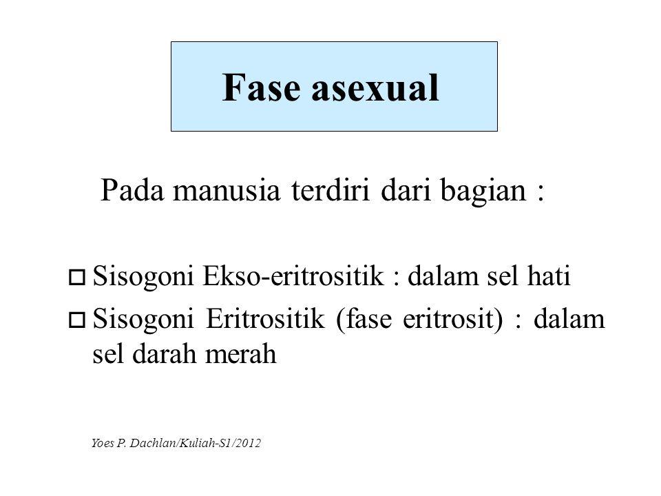 Fase asexual o Sisogoni Ekso-eritrositik : dalam sel hati o Sisogoni Eritrositik (fase eritrosit) : dalam sel darah merah Pada manusia terdiri dari ba