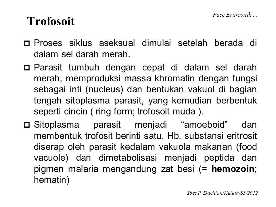 Trofosoit  Proses siklus aseksual dimulai setelah berada di dalam sel darah merah.  Parasit tumbuh dengan cepat di dalam sel darah merah, memproduks