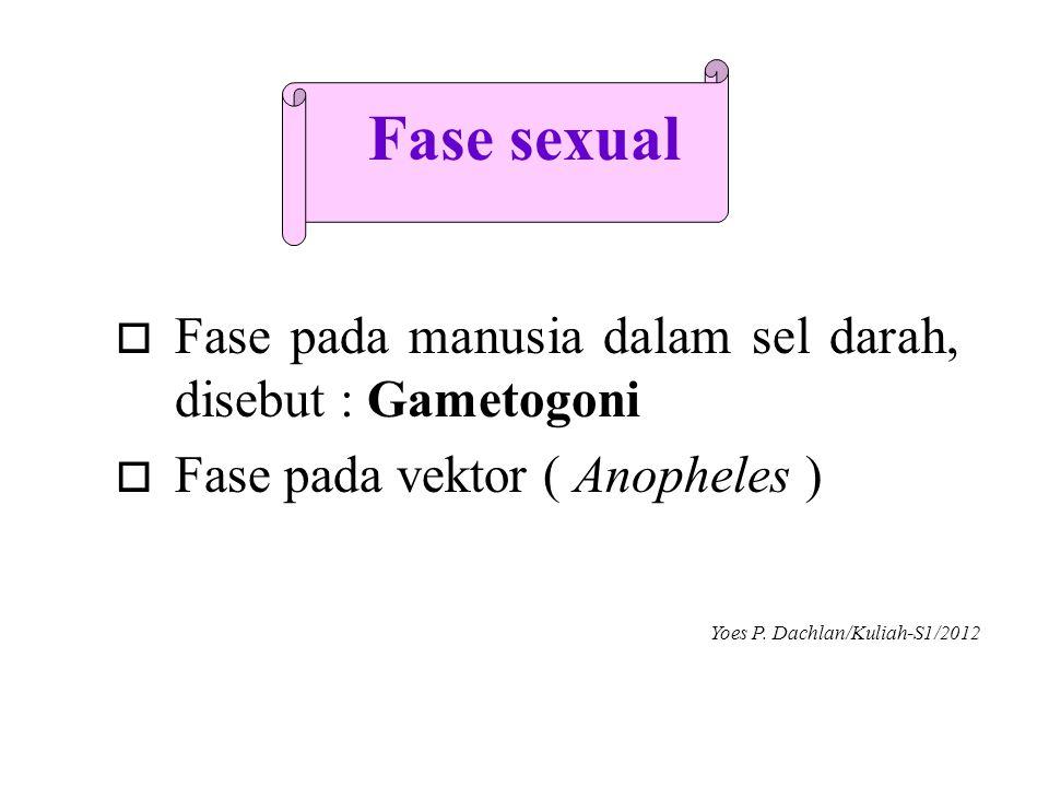 Fase sexual o Fase pada manusia dalam sel darah, disebut : Gametogoni o Fase pada vektor ( Anopheles ) Yoes P. Dachlan/Kuliah-S1/2012