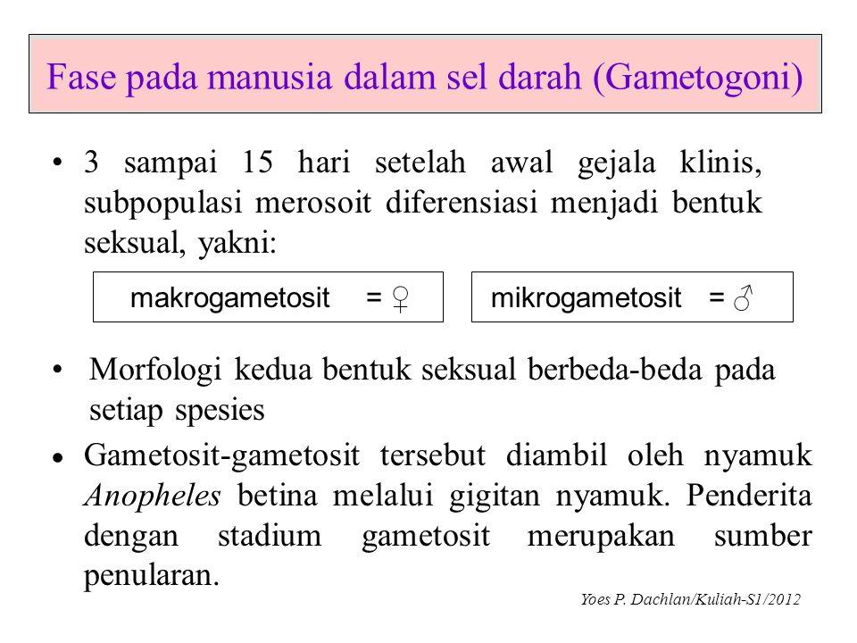 Fase pada manusia dalam sel darah (Gametogoni) •3 sampai 15 hari setelah awal gejala klinis, subpopulasi merosoit diferensiasi menjadi bentuk seksual,