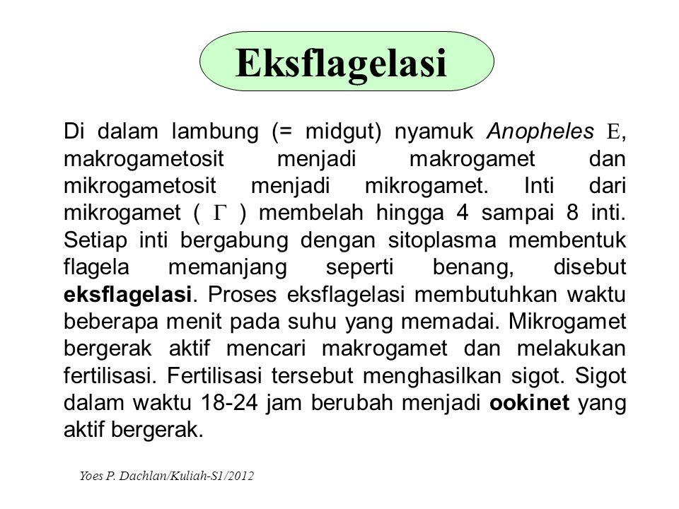 Eksflagelasi Di dalam lambung (= midgut) nyamuk Anopheles , makrogametosit menjadi makrogamet dan mikrogametosit menjadi mikrogamet. Inti dari mikrog