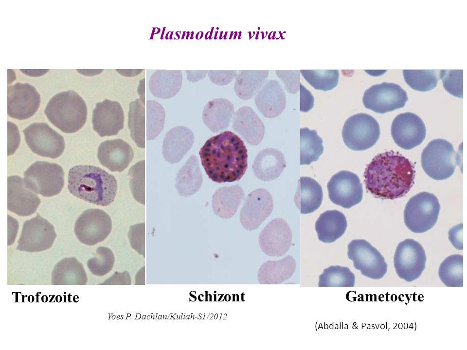 Plasmodium vivax Trofozoite SchizontGametocyte (Abdalla & Pasvol, 2004) Yoes P. Dachlan/Kuliah-S1/2012