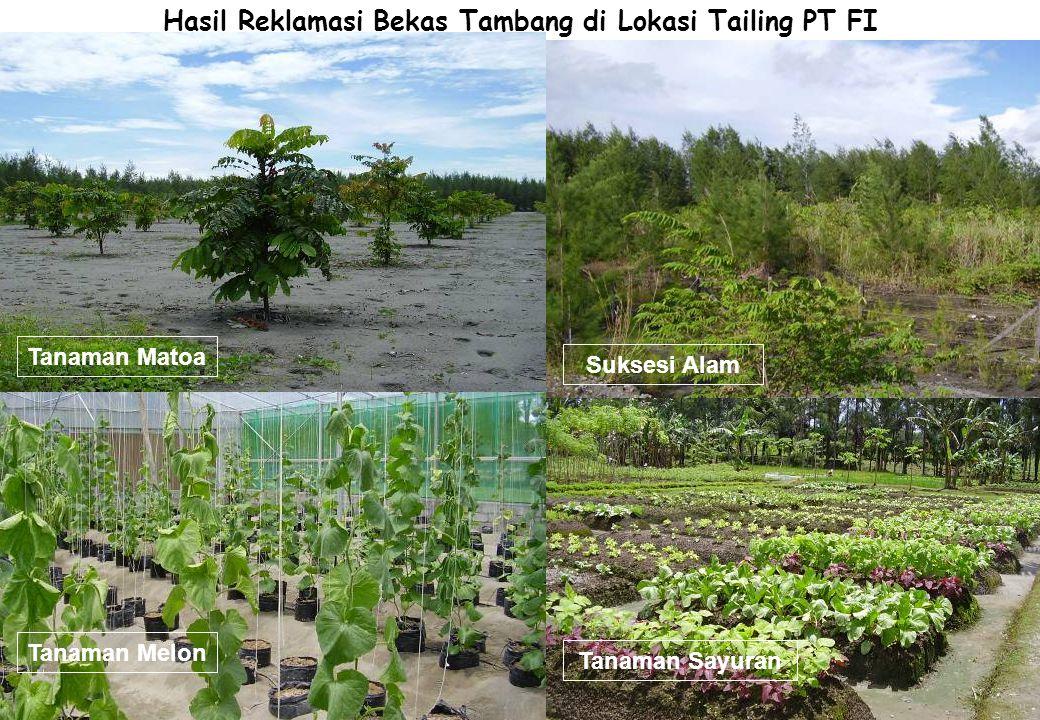 Hasil Reklamasi Bekas Tambang di Lokasi Tailing PT FI Tanaman Matoa Tanaman Melon Suksesi Alam Tanaman Sayuran