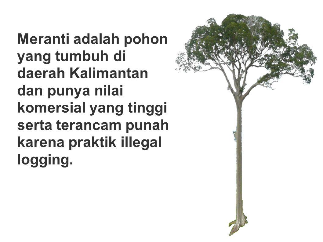 Meranti adalah pohon yang tumbuh di daerah Kalimantan dan punya nilai komersial yang tinggi serta terancam punah karena praktik illegal logging.