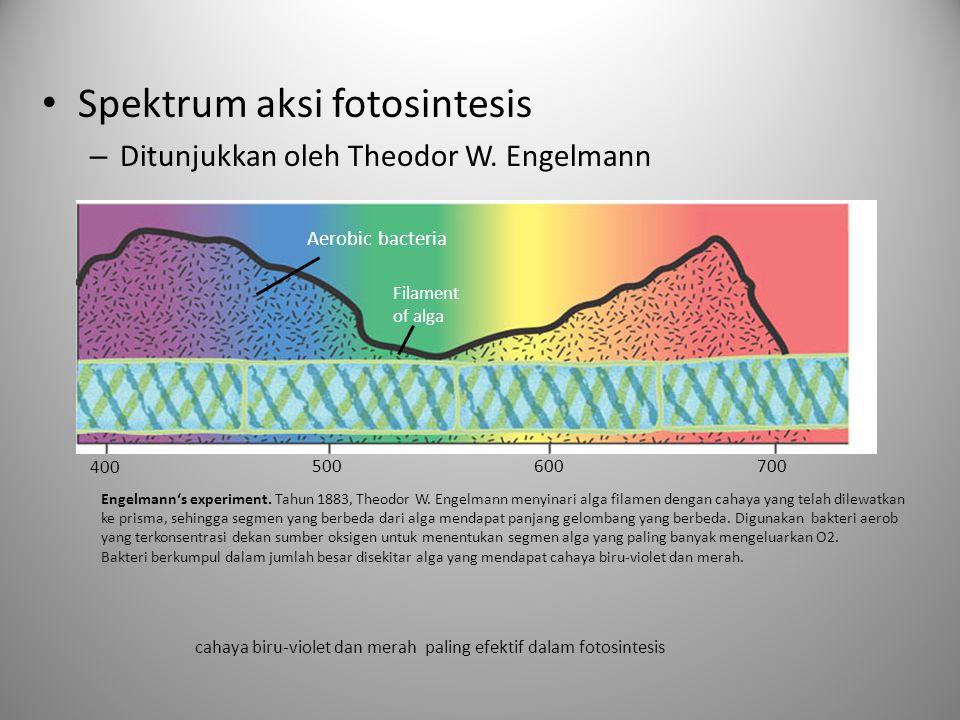 • Spektrum aksi fotosintesis – Ditunjukkan oleh Theodor W. Engelmann 400 500600700 Aerobic bacteria Filament of alga Engelmann's experiment. Tahun 188