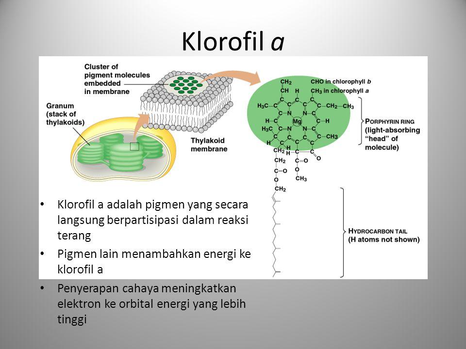 Klorofil a • Klorofil a adalah pigmen yang secara langsung berpartisipasi dalam reaksi terang • Pigmen lain menambahkan energi ke klorofil a • Penyera