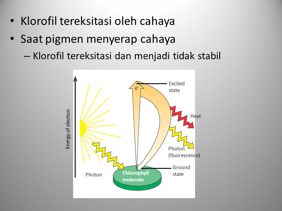 • Klorofil tereksitasi oleh cahaya • Saat pigmen menyerap cahaya – Klorofil tereksitasi dan menjadi tidak stabil Excited state Energy of election Heat Photon (fluorescence) Chlorophyll molecule Ground state Photon e–e–
