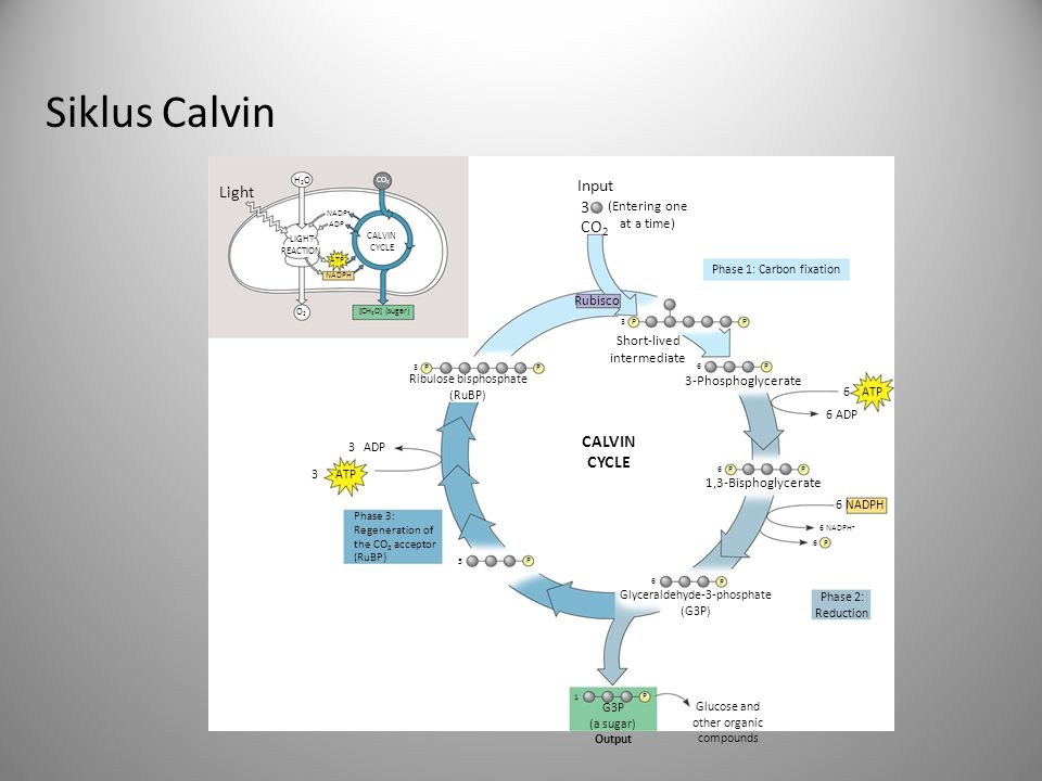 Siklus Calvin (G3P) Input (Entering one at a time) CO 2 3 Rubisco Short-lived intermediate 3 PP P Ribulose bisphosphate (RuBP) P 3-Phosphoglycerate P6 P 6 1,3-Bisphoglycerate 6 NADPH 6 NADPH + 6 P P 6 Glyceraldehyde-3-phosphate (G3P) 6 ATP 3 ATP 3 ADP CALVIN CYCLE P 5 P 1 G3P (a sugar) Output Light H2OH2O CO 2 LIGHT REACTION ATP NADPH NADP + ADP [CH 2 O] (sugar) CALVIN CYCLE O2O2 6 ADP Glucose and other organic compounds Phase 1: Carbon fixation Phase 2: Reduction Phase 3: Regeneration of the CO 2 acceptor (RuBP)