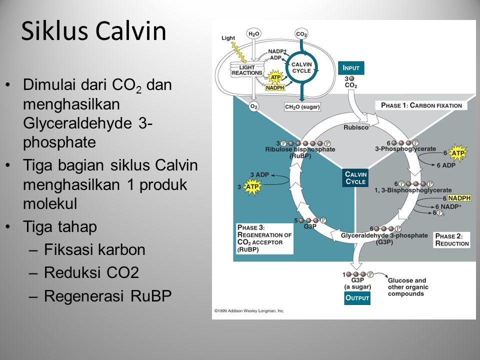 Siklus Calvin •Dimulai dari CO 2 dan menghasilkan Glyceraldehyde 3- phosphate •Tiga bagian siklus Calvin menghasilkan 1 produk molekul •Tiga tahap –Fi