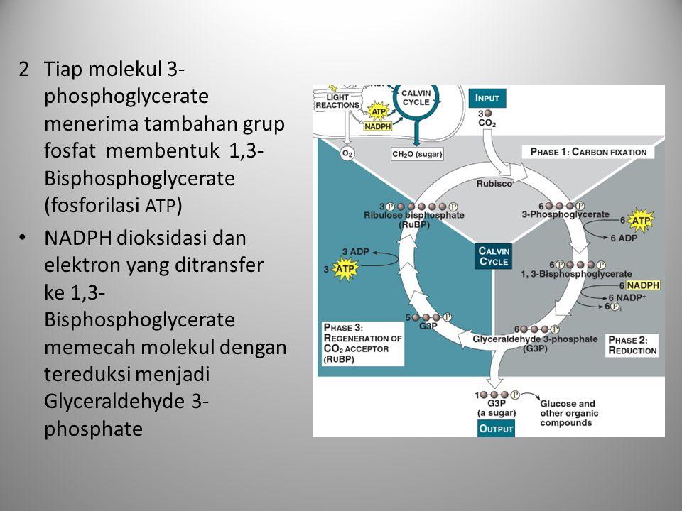 2Tiap molekul 3- phosphoglycerate menerima tambahan grup fosfat membentuk 1,3- Bisphosphoglycerate (fosforilasi ATP ) • NADPH dioksidasi dan elektron