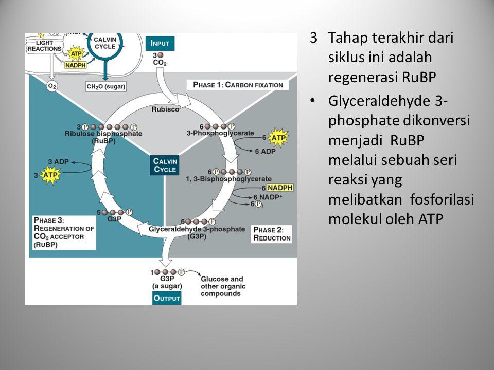 3Tahap terakhir dari siklus ini adalah regenerasi RuBP • Glyceraldehyde 3- phosphate dikonversi menjadi RuBP melalui sebuah seri reaksi yang melibatka